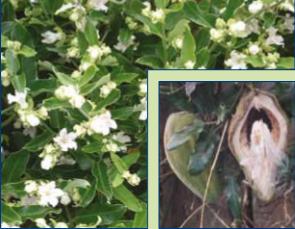 Moth plant / cruel vine (Araujia sericifera)